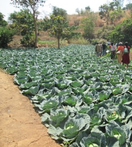 Irrigated cabbages