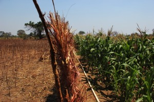 Fence separating irrigated plot from unirrigated land